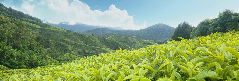 tea_planting